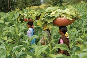 Highest Tobacco producing countries in the world